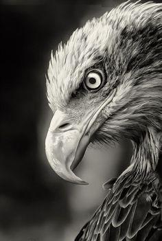 Resultado de imagem para oiseaux noir et blanc