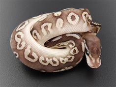 Lesser Black Pewter Ball Python - Really beautiful!