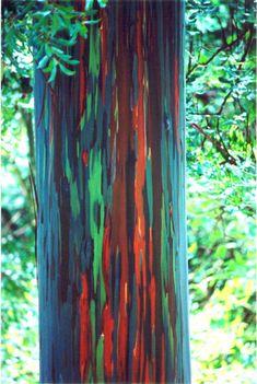 Rainbow Eucalyptus – Nature's Painted Tree   Circa71