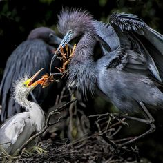 Due to their all white feathers, young Little Blue Herons easily blend in with Snowy Egrets. Being among their larger relatives helps them catch more fish and provides them with extra protection against predators. ⠀ ⠀ Photo: Robert Black/Audubon Photography Awards⠀ ⠀