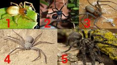 South Africa's Big Five of dangerous spiders Number 3, Spiders, Violin, South Africa, Blankets, Wildlife, Lost, Husband, African