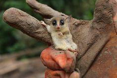 Common Mouse Opossum - Pixdaus
