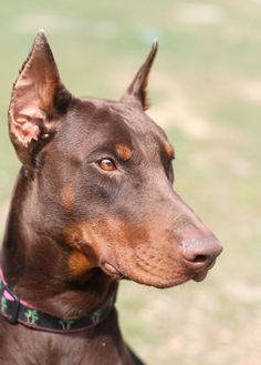 Want a Red Doberman Pinscher so bad. Beautiful Animals!  and I loved my Drake!!! #dobermanpinscher
