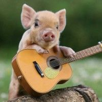 Cute  Pig rock and roll