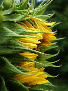 Beautiful Flowers Garden, Amazing Flowers, Pretty Flowers, Sunflowers And Daisies, Yellow Flowers, Sun Flowers, Growing Flowers, Planting Flowers, Drought Tolerant Garden