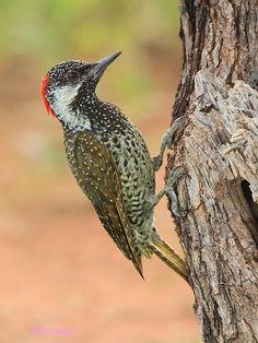Dzięciolik złotosterny  - Golden-tailed Woodpecker; (Campethera abingoni)