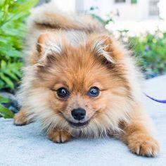 Dixie, Pomeranian (5 m/o), Simonton & South St, Key West, FL