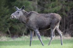 Moose. Photo by Frank Kottisch.