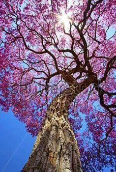 Tajy o Lapacho, es el árbol nacional del Paraguay  Hay de diversos colores , amarillo, rosado , blanco ,el lilaceo