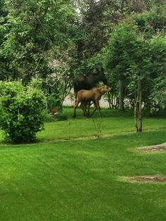 Momma and baby moose visit my yard again, Anchorage, Alaska. Photo taken by me