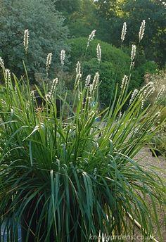 Sesleria Greenlee's Hybrid | Knoll Gardens | Ornamental Grasses and Flowering Perennials