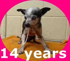 HIS OWNER DUMPED HIM! He weighs 5.2 lbs. A1306078 My name is Bemfica and I'm an approximately 14 year old male chihuahua sh. I am not yet neutered. I have been at the Downey Animal Care Center since January 5, 2015. I am available on January 5, 2015. You can visit me at my temporary home at DRECEIVING. https://www.facebook.com/photo.php?fbid=790366384377029&set=a.621812584565744&type=3&theater