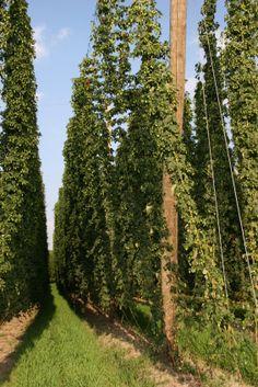 hops plants/vines