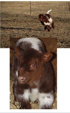 "Baby bull calf  Adorable ""fluffy"" cows  www.lautnerfarms.com"