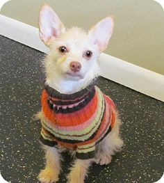 St. Louis, MO - Chihuahua/Poodle (Miniature) Mix. Meet Butters a Dog for Adoption.