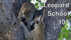 Leopard School 1O 1 - Cub learning from its mom how to do it! Amazing Le...