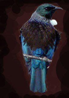 Tui - NZ native bird
