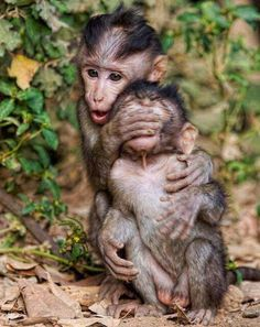 Oh too cute My favorite monkey! Capuchin monkey Want one! They are more trainable than dogs! Primates, Mammals, Cute Baby Animals, Animals And Pets, Funny Animals, Strange Animals, Wild Animals, Beautiful Creatures, Animals Beautiful