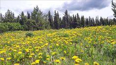 My Meadows. Photos taken on June 13, 2016. Houston, BC. Travel Houston, British Columbia with Brian Vike.