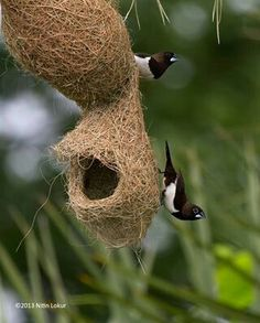 Baya Weaver birds infian name sugri...Nest gujrat india