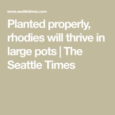 Planted properly, rhodies will thrive in large pots | The Seattle Times Washington State University, Washington Park, Seattle Times, Shade Perennials, Small Leaf, Large Pots, New Growth, Potting Soil, New Leaf