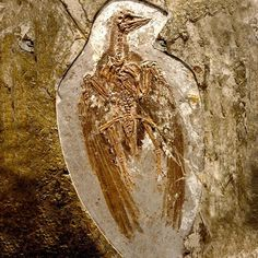 FOSSIL of a primitive bird confuciusornis sanctus, 125 million years ago