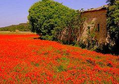 coquelicots en Provence