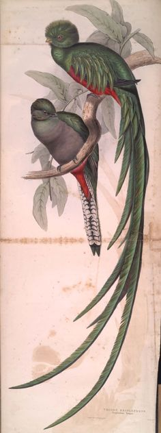 Trogon Resplendens from A Monograph of the Trogonidae, or Family of Trogons, by John Gould, 1838