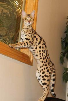F1 Savannah Cat | F1 Queens | Select Exotics