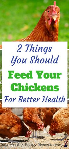 2 Things You Should Feed Your Chickens For Better Health.