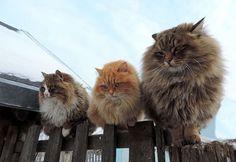 Siberian Cats are amazing and smashing! - Imgur