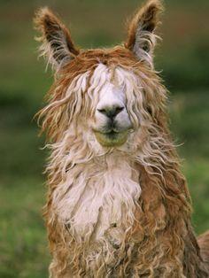 ~~Alpaca Portrait, Altiplano, Bolivia by Pete Oxford~~