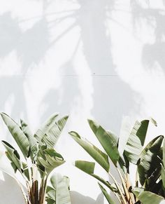 tropical plants can work outdoors or indoors to bring an event together Green Plants, Tropical Plants, Palm Plants, Potted Plants, The Beach People, Decoration Plante, Good Vibe, Plants Are Friends, Gardening