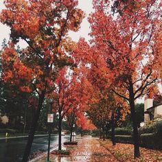 beautiful red fall foliage on a street and sidewalk.