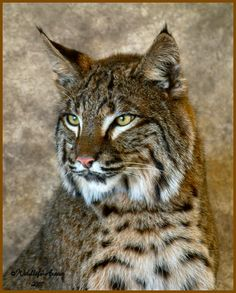 Bobcat - In case you don't know this cat is mean! ..int cat make ribbons out of you in no time at all !,