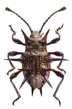 「Heteronotuss nigrogiganteus」の画像検索結果
