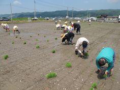 【御田植】平成24年5月26日、伝統的稲作行事『御田植』(主催・巴会)にて。早乙女に続き、お田植参加者も田植えを行いました④。