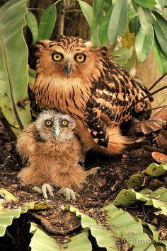 Punggok / Buffy Fish Owl Mommy and baby by razifmasri [+6012-2958763]