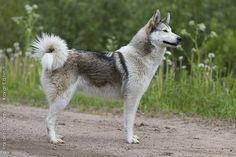 The West Siberian Laika was bred in 19th-century Russia for large game hunting.  It does not like children, urban spaces, obedience training, nor strangers, but it is comfortable with other animals, unlike some other Laika breeds.