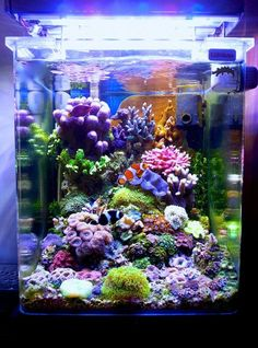 -- A Particular Italian Nano Cube -- - Reef Central Online Community fish aquarium Coral Reef Aquarium, Saltwater Aquarium Fish, Marine Aquarium, Small Saltwater Tank, Fish Aquariums, Coral Reefs, Marine Fish Tanks, Marine Tank, Nano Reef Tank