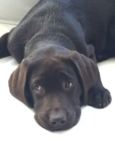 Cute Labrador Puppies, Labradors, Baby Animals, Labrador Retriever, Dogs, Photos, Style, Labrador Retrievers, Swag