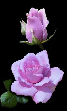 one of my favorite colors Beautiful Flowers Wallpapers, Beautiful Rose Flowers, Flowers Nature, Exotic Flowers, Amazing Flowers, Lavender Roses, Purple Roses, Black Roses, Fresh Flowers Online