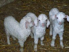 angora goat | baby Angora goats, very good english bloodlines, bottle fed, only one ...
