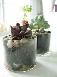 How To Plant Succulents for Indoor Garden?