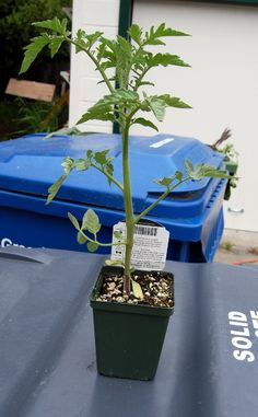 How To Plant A Tomato Plant–foolproof method for getting healthy, giant tomato plants