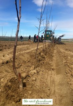 How to plant apple trees. 13 apple growing secrets from the pro's. These guys know how to get maximum production and bigger better apples. Here is how they do it