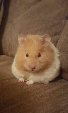 This is gooney! Not a couch potato who stole my pucture!P Gooney, I miss you Bear Hamster, Hamster Names, Hamster Life, Cute Guinea Pigs, Cute Hamsters, Super Cute Animals, Cute Baby Animals, Fat Animals, What Is Cute