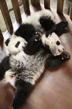 """BABY PANDAS  """"Move over you're in my space"""""""