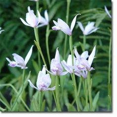 Pogonia ophioglossoides (Moororchidee), 25 cm hoch, blüht 6 - 7