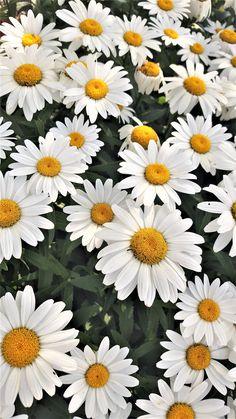 He loves me, he loves me knot daisies. He loves me, he loves me knot daisies. Tumblr Wallpaper, Daisy Wallpaper, Flower Background Wallpaper, Sunflower Wallpaper, Wallpaper Iphone Cute, Cellphone Wallpaper, Flower Backgrounds, Colorful Wallpaper, Nature Wallpaper